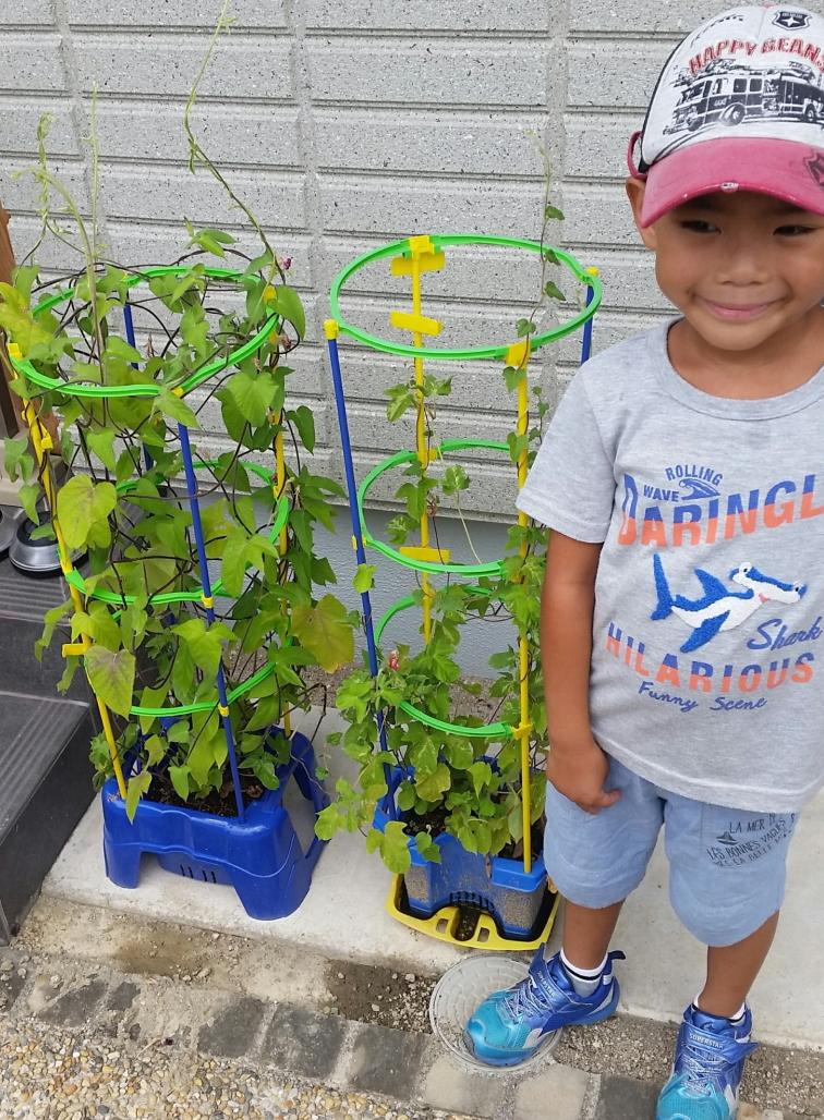 学校でおこなわれているあさがお(朝顔)の植え方、育て方-新学期に向けて